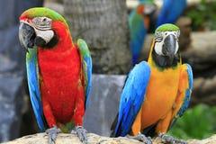 Macaw rojo y azul Imagen de archivo