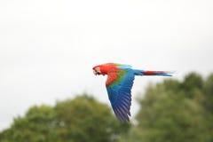 Macaw Rojo-y-verde Foto de archivo libre de regalías