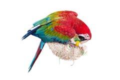 Macaw Rojo-y-verde en el fondo blanco Fotos de archivo libres de regalías