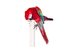 Macaw Rojo-y-verde en el fondo blanco Imagenes de archivo
