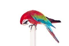 Macaw Rojo-y-verde en el fondo blanco Fotos de archivo