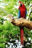 Macaw rosso Immagini Stock Libere da Diritti