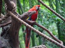 Macaw rosso Fotografia Stock Libera da Diritti
