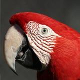 Macaw rosso Immagini Stock
