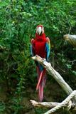 Macaw rosso del ara Immagini Stock