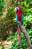 Macaw Rosso-e-verde Fotografia Stock