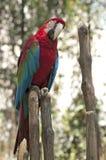 Macaw rosso e verde Fotografie Stock