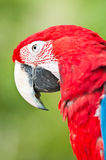 Macaw rouge photographie stock