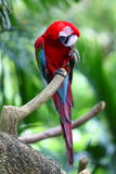 Macaw rouge images stock
