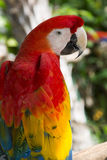 Macaw 05. The scarlet macaw Ara macao Royalty Free Stock Images