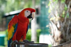 Macaw. Scarlet Macaw Stand on a branch with bokeh  background Royalty Free Stock Images
