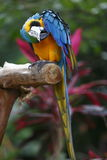 Macaw scratching Stock Images