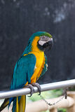 Macaw sitting on a steel pipe Royalty Free Stock Photo