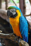 Macaw sleep on a tree Royalty Free Stock Images
