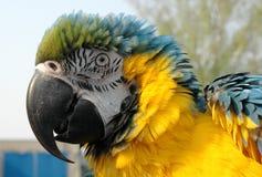 Macaw Soplado-hacia fuera del azul y del oro Foto de archivo