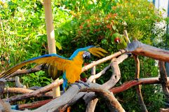 Macaw spreading wings Royalty Free Stock Photos