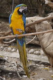 Macaw. Standing on a paw Stock Photo