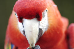 Macaw Stare. And beak detail Royalty Free Stock Photos