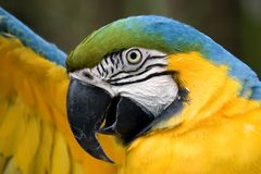 Macaw stretching Royalty Free Stock Photo