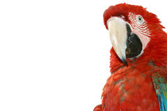 Macaw su priorità bassa bianca immagini stock libere da diritti