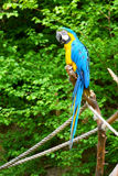 Macaw sur le branchement Photo stock
