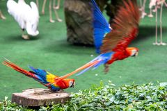 Macaw taking off flying away royalty free stock photography