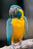 Macaw throated bleu photo libre de droits
