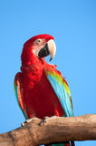 Macaw on tree. Royalty Free Stock Images