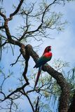 Macaw in a tree. View of a scarlet macaw on tree branches Stock Image