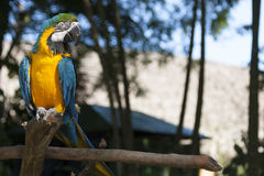 Macaw on a tree Stock Photography