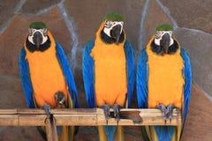 Macaw tres Imagen de archivo libre de regalías