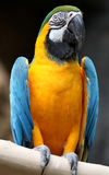 Macaw. Up close perched on a branch Stock Image
