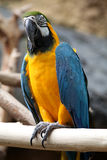 Macaw. Up close perched on a branch stock photos