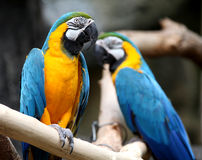 Macaw. Up close perched on a branch stock photography