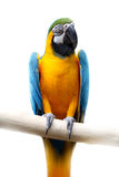 Macaw. Up close perched on a branch stock images
