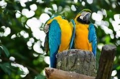 Macaw-Vögel lizenzfreie stockbilder