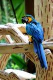 Macaw variopinto Fotografie Stock