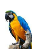 Macaw variopinto dell'uccello del pappagallo isolato Fotografia Stock