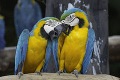 Macaw variopinto due Immagine Stock