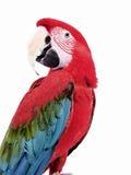 Macaw verde 117 dell'ala Fotografie Stock