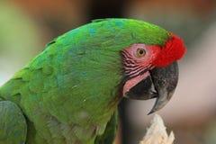 Macaw verde Foto de archivo libre de regalías