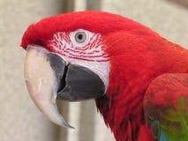 Macaw verde 2 dell'ala Fotografia Stock