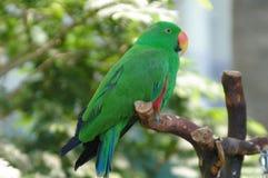Macaw verde Fotografia de Stock