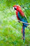 macaw Verde-con alas Fotografía de archivo libre de regalías