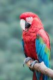 Macaw Verde-con alas Fotografía de archivo
