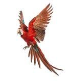 Macaw Verde-con alas, chloropterus del Ara, de 1 año, volando Fotografía de archivo libre de regalías
