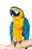 macaw Verde-con alas sobre blanco Fotos de archivo libres de regalías