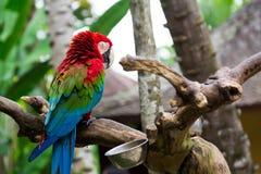Macaw verde da asa Imagens de Stock Royalty Free