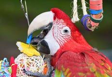 Macaw verde del ala Imagen de archivo libre de regalías