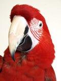 Macaw verde dell'ala fotografie stock libere da diritti